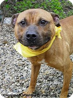 ADOPTED!!! Cleveland, OH - Pit Bull Terrier Mix. Meet Oppossum-Foster or Adopt!!, a dog for adoption. http://www.adoptapet.com/pet/11202190-cleveland-ohio-pit-bull-terrier-mix