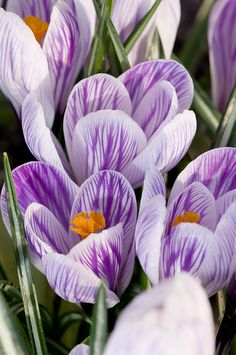 Purple and White Crocus Flowers | Flickr - Photo Sharing!