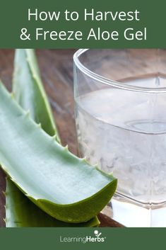 How to Harvest and Freeze Aloe Vera Gel #BeautyHacks #AloeVeraSkinCare