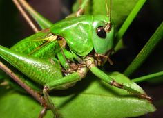 grasshopper :)