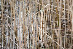 Vroege Vogels: Zoekplaatje - Zoek de roerdomp Nederlandse naam: roerdomp Wetensch. naam: Botaurus stellaris