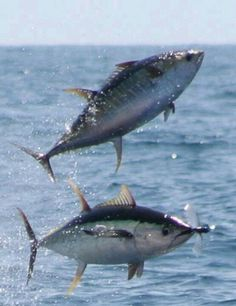 Tuna catch flying fish
