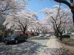 Flores de cerejeira começam a desabrochar na primavera coreana