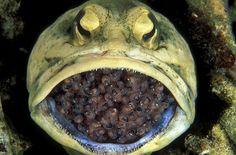 Jawfish leukakala