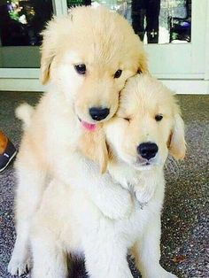 Golden Retriever Puppies for Sale. Find Your Forever Pup! Animals And Pets, Baby Animals, Funny Animals, Cute Animals, Golden Retriever Mix, Retriever Puppy, Golden Retrievers, Cute Puppies, Dogs And Puppies