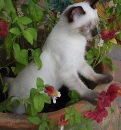 Siamese Cat playing in planter with Shrimp plant- Justicia brandegeeana, a hummingbird favorite.