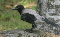 Varis.Hooded crow.