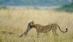Motherly love: A female Cheetah and her cub play in Maasai Mara National Reserve in Kenya