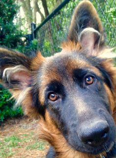 GSD Puppy-Finn