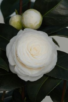 Camellia japonica is labeled as 'Alba Plena' but it looks more like 'Candidissima' to me...