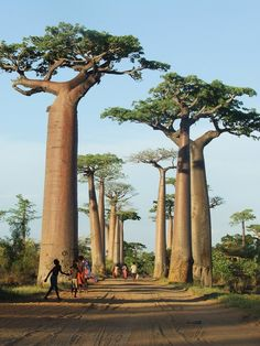 I did my grade country report on Madagascar! The Baobab Trees of Madagascar Places Around The World, Oh The Places You'll Go, Places To Travel, Places To Visit, Around The Worlds, Beautiful World, Beautiful Places, Baobab Tree, Parc National