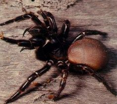 northern funnel web