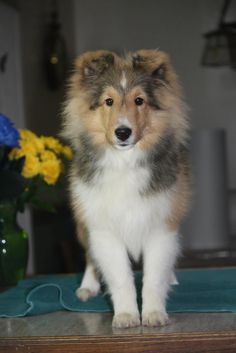 Young Sheltie