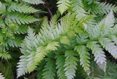 athyrium otophorum var okanum garden fern 9cm rooted painted red shade plant