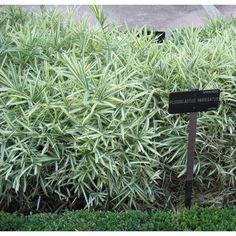 Bambou Pleioblastus variegatus