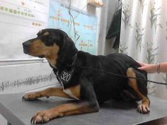 Animal Shelter adopt a pet; Shelter Dogs, Animal Shelter, Rescue Dogs, Animal Rescue, All Dogs, Dogs And Puppies, Harris County, Stop Animal Cruelty, Doberman Pinscher