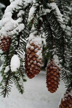 "cones cones Pine cones on snow covered pine. Would make a beautiful holiday card … photo by Ron Rovtar wistfullycountry: ""Kari Winter Szenen, I Love Winter, Winter Magic, Winter Christmas, Christmas Trees, Merry Christmas, Winter Photography, Nature Photography, Christmas Aesthetic"