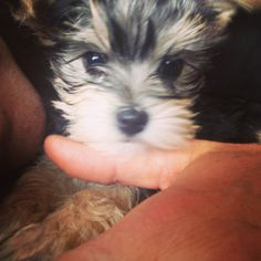Our Beautiful Beatrice.. Morkie pup!