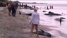 Más de 400 ballenas piloto han quedado varadas en una playa de Nueva Zelanda en lo que es el peor encallamiento masivo de los últimos 25 años, según los expertos. Miembros del Departamento de Conservación y grupos de voluntarios siguen luchando para salvar a unas 100 y regresarlas al mar. El primer intento de hacerlas reflotar consiguió que unas 20 lo lograran. Es el tercer encallamiento de ballenas más grande en la historia del país. En 1918, 1.000 ballenas quedaron varadas en las Islas…