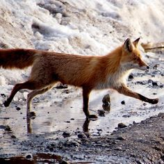 Red Fox | 365gram.net