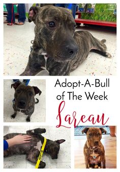 Adopt-A-Bull of The Week – Lareau in Vermont | http://www.thelazypitbull.com/adopt-a-bull-lareau/