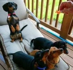 Jayde (sitting up) with Raven, Petie and Emily. Dachshund Rescue stories for the heart!