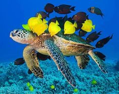 Sea turtle and tang fish help each other out. Tangs get food while the sea turtle gets parasite free skin and shell. It's a win win