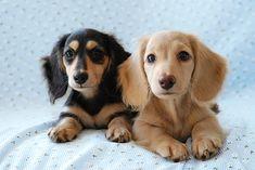 クリックすると新しいウィンドウで開きます Piebald Dachshund, Dachshund Puppies, Cute Dogs And Puppies, Animals And Pets, Cute Animals, Japanese Dogs, Miniature Dachshunds, Dog Portraits, Dog Friends