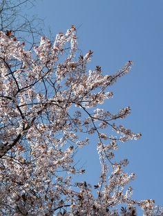 Le printemps est arrivé dans Paris  http://www.pariscotejardin.fr/2014/03/le-printemps-est-arrive-dans-paris/
