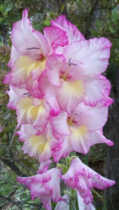 Gladiolus-  we planted these when Caitlyn was born