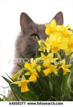 eating daffodils