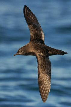Short-tailed Shearwater, Australia