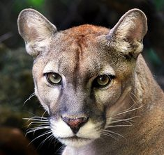 Florida panther...................................Google Image Result for http://www.articlesweb.org/blog/wp-content/gallery/most-endangered-mammals-a-brief-study/most-endangered-mammals-12.jpg
