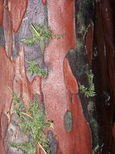 Pacific Yew Tree...the bark of which is used to create another type of chemotherapy, the taxanes.