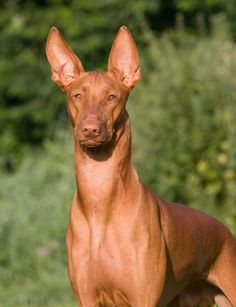 The Pharaoh Hound originated in ancient Egypt and is a dog of medium size. It was bred primarily to hunt gazelle and other small game. It is no coincidence that the Pharaoh Hound's likeness in Egyptian art so strongly resembles the Egyptian jackal god, Anubis, the Watchdog of the Dead, in fact the Pharaoh Hound is the oldest domesticated dog in written records, dating back to before 3,000 B.C.
