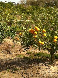 Mixon Fruit Farm in Bradenton, FL