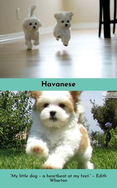 Havanese – Intelligent and Funny Coton De Tulear, Havanese Puppies, Little Dogs, Dog Grooming, In A Heartbeat, Animals And Pets, Love Him, Cute Dogs, Teddy Bear