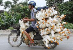 Ein Mann transportiert Enten auf einem Motorrad zu einem Markt in der Provinz Nam Ha, außerhalb Hanoi, China.