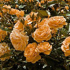 Weeks Floribunda Rose Absolutely Fabulous - 1 rose: Amazon.de: Garten