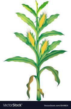 Cartoon corn material PNG and Clipart Clipart Images, Free Vector Images, Vector Free, Trees To Plant, Plant Leaves, Seed Illustration, Plant Cartoon, Corn Stalks, Corn Plant