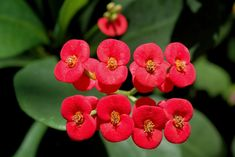 Euphorbia milii - en.wikipedia.org