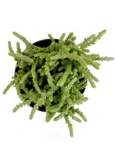 """You searched for - Altman Plants Crassula lycopodiodes """"Watch Chain"""" Growing Succulents, Cacti And Succulents, Planting Succulents, Wholesale Succulents, Cactus, Dish Garden, Marijuana Plants, Succulent Gardening, Succulents"""