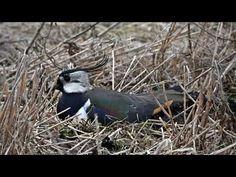 Töyhtöhyyppä Blue Jay, Bird, Animals, Animales, Animaux, Birds, Animal, Animais