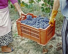 Women harvesting grapes in a vineyard, Barbaresco DOCG, Piedmont, Italy Piedmont Italy, Italy Pictures, Wine Tags, Panoramic Images, Italian Wine, World Photo, I Love Lucy, Sweet Life, B & B