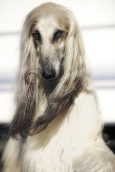 "Afghan Hound - ""The Wizard"" by Wolfruede I Love Dogs, Cute Dogs, Photo Animaliere, Image Chat, Afghan Hound, Hound Dog, Old Dogs, Dog Boarding, Dogs Of The World"