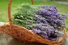 Essential Oils For Elderly Dementia-Healthy Habits For Seniors Lavender Fields, Lavender Flowers, Summer Flowers, Lavender Syrup, Essential Oils For Sleep, Organic Essential Oils, Nikon D5100, Planter Menthe, Eucalyptus Citronné
