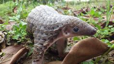 Baby Pangolin- Native to Africa and parts of Asia. (This is a mammal and has no spine. It also sprays a smelly substance out of its tail when threatened, like a skunk.)