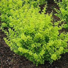 "Barberry, Bonanza Gold (berberis thunbergii 'Bogozam') Bonanza Gold is a dwarf form or golden barberry that commands special attention in the landscape due to its outstanding bright gold foliage. A low maintenance plant, it forms a dense mound of bright golden foliage 18"" x 36"""