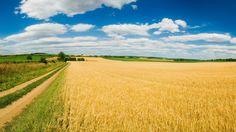 golden wheat field [1920x1080] Need #iPhone #6S #Plus #Wallpaper/ #Background for #IPhone6SPlus? Follow iPhone 6S Plus 3Wallpapers/ #Backgrounds Must to Have http://ift.tt/1SfrOMr