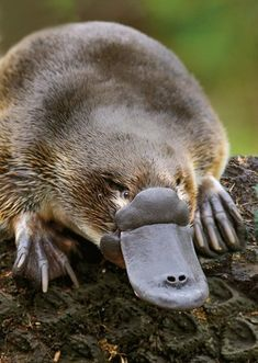 """PLATYPUS....a monotreme (mammal that lays eggs)....native to eastern Australia and Tasmania....a weight of 1.5 to 5.3 pounds and a length of 16.9 to 19.7 inches....unusual appearance = egg-laying, duck-billed, beaver-tailed, otter-footed mammal....the first scientists to examine a specimen believed they were the victims of a hoax....do not have teeth, so the bits of gravel help them to """"chew"""" their meal"""